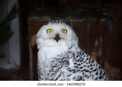 Close up of polar owl in the Zoo.