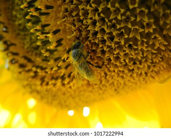 Close up of a pollen covered honey bee on a bright yellow sunflower