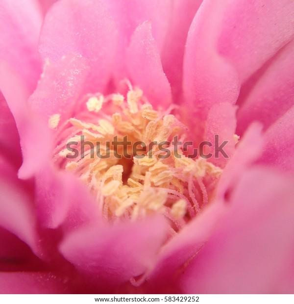 close up pollen pink cactus flower