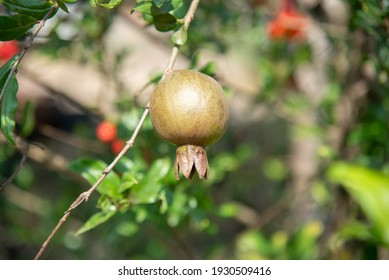 A close up of pomegranate on a pomegranate tree
