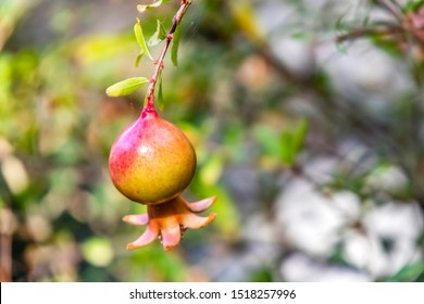 close up pomegranates on tree banches in green nature.