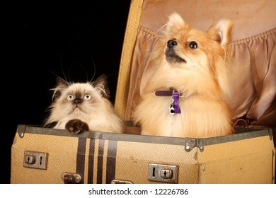 close up of pomeranian puppy dog and himalayan persian kitten in old fashioned suitcase against black background
