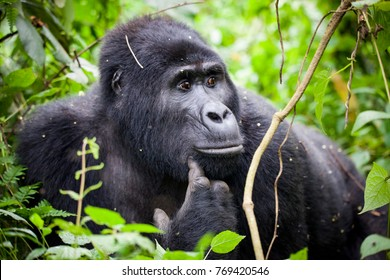 Close up of a pondering Mountain Gorilla in Uganda
