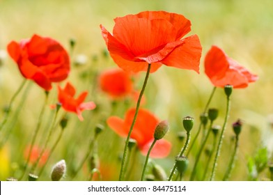 close up poppies in a green field