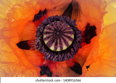 a close up from a poppy