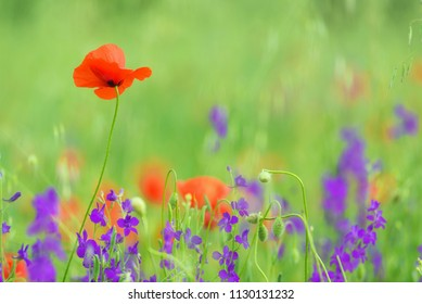 close up in poppy field and sun. Spring summer nature background concept. Shallow deep of field. Selective focus.