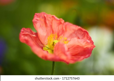 Close up of poppy flower, beautiful red petals, blooming spring flower