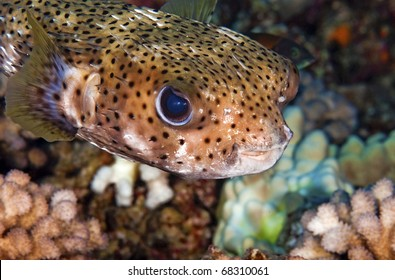 A close up of a porcupine puffer fish