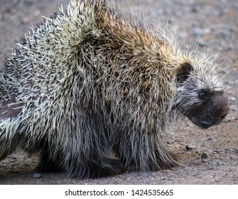 Close up of a porcupine turned to the side.