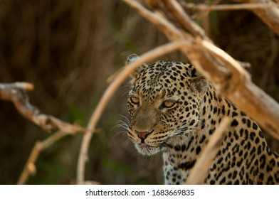 Close up portait of wild African Leopard