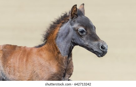 Close up portrain in motion of bay foal. American miniature horse. Horizontal photo.