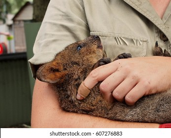 Close Up Portrait of a Adorable Cuddly Young Quokka Being  Nursed by a Keeper.