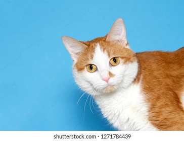 Close up portrait of an adorable orange and white tabby cat with golden yellow eyes looking sideways at viewer with curious expression. Blue background with copy space.