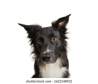 Close up portrait of adorable purebred Border Collie looking away curious isolated on white background with copy space. Funny black and white dog attentive glance.