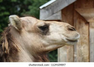 Close up portrait of adult dromedary camel