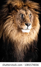 Close up Portrait of an Adult Lion on Black Background