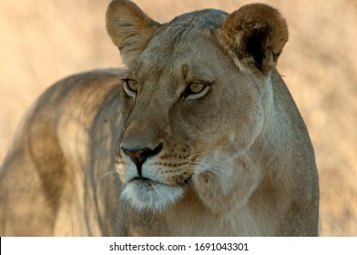 Close up portrait of adult lioness