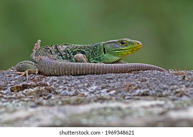 Close up portrait of an adult male ocellated lizard or jewelled lizard (Timon lepidus) shedding its skin. Beautiful scary green and blue exotic lizard with vibrant colors in natural environment. Spain - Shutterstock ID 1969348621