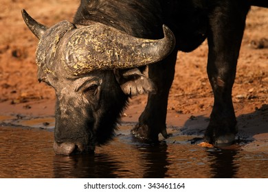 Close up portrait of African buffalo drinking water on river bank Chobe river.