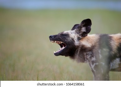 Close up portrait of African Wild Dog, Lycaon pictus. Painted wolf with opened mouth, showing its teeths. African wildlife photography. Selfdrive safari in Moremi, Okavango delta, Botswana.