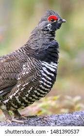Close up portrait of an alert Spruce Grouse standing on pine log.