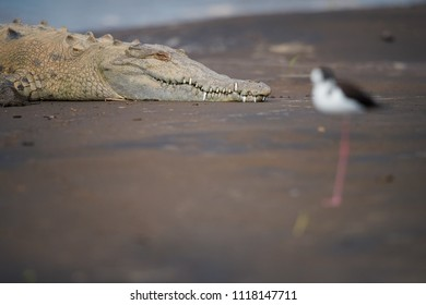 Close up portrait of an American Crocodile, Crocodylus acutus relaxing on the sandy bank of Rio Tarcoles river. Head of crocodile over blurred Black-winged stilt. Tarcoles river, Costa Rica.
