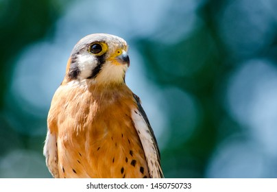 Close up portrait of an american Kestrel bird with copy space