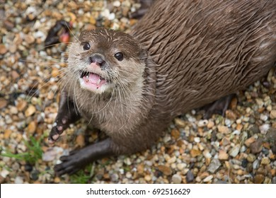 Close portrait of an asian short clawed otter looking up and smiling showing open mouth and teeth