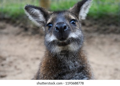 Close up portrait of an Australian wallaby sitting in the grass in it's habitat.