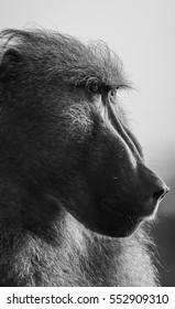 Close up portrait of a baboon, Kruger National Park, South Africa, monochrome