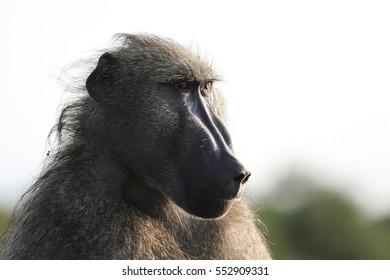 Close up portrait of a baboon, Kruger National Park, South Africa