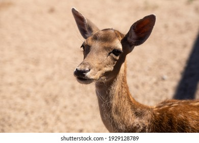 Close up portrait of baby deer.