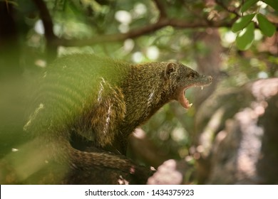 Close up portrait of Banded mongoose, Mungos mungo with opened mouth, showing teeth. Small african carnivore in green forest of Amboseli, Kenya