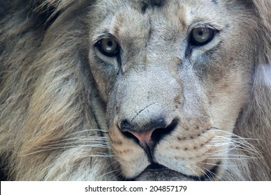 Close up portrait of beautiful african male lion