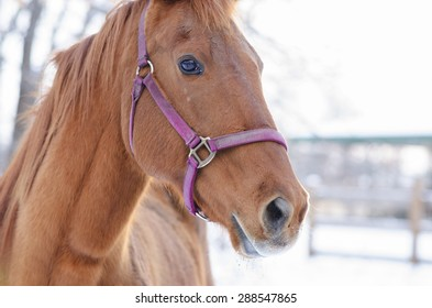 Close Up Portrait Of Beautiful American Quarter Horse.  American Quarter horse with pink briddle in winter posing for the camera outside.