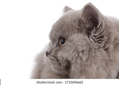 close up portrait beautiful british longhair kitten with orange yellow eyes on studio isolated white background