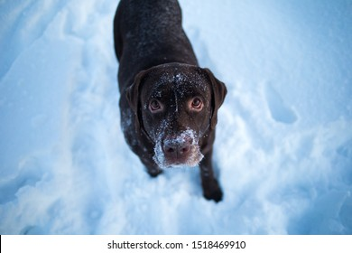 Close up portrait of a Beautiful chocolate labrador retriever posing outside at winter. Labrador in the snow.