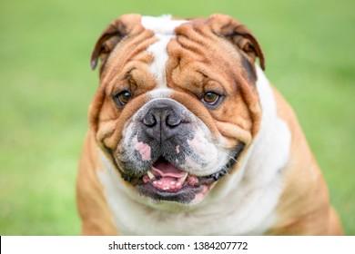 Close up portrait of Beautiful English bulldog outdoor,selective focus