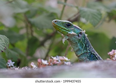 Close up portrait of a beautiful male ocellated lizard or jewelled lizard (Timon lepidus) shedding its skin. Scary green and blue exotic lizard growing with vibrant colors in natural environment. - Shutterstock ID 1999437455