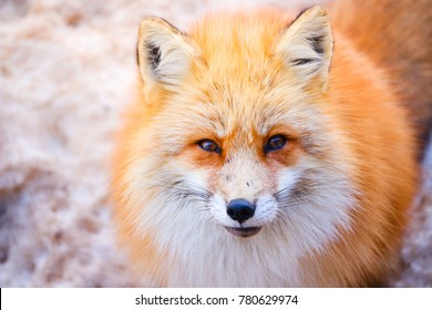 close up portrait of beautiful red fox at Zao fox village, Miyagi, Japan