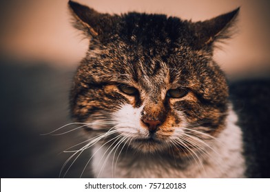 A close portrait of a big adult cat  with cute furry face and white whiskers