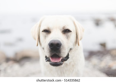 close up portrait of big adult yellow labrador retriever enjoying weather outdoors