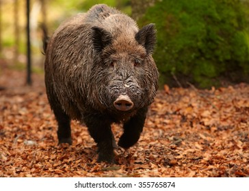 Close up portrait of big male Sus scrofa Wild boar in autumn beech forest coming directly to camera. Colorful fallen orange leaves on the ground,blurred trees in background. European lowland forest.