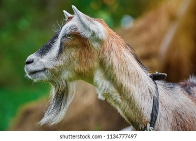 Close up Portrait of Billy Goat without Horns