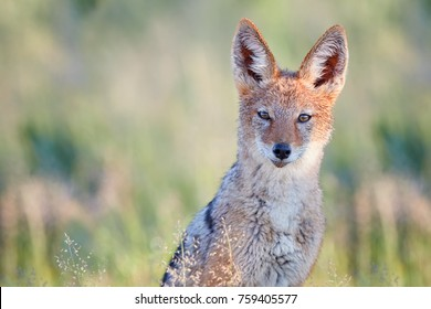 Close up portrait of Black Backed Jackal, Canis Mesomelas, fox-like canid lit by early morning sun against blurred dunes of Kgalagadi park. African wildlife photo. Nature photography in Botswana.