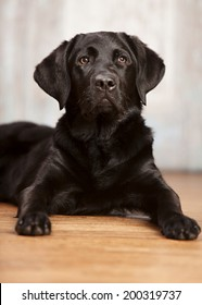 Close up portrait of a black lab puppy.