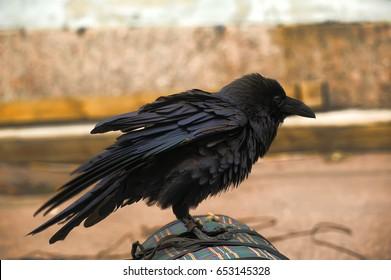 Close up portrait of black raven