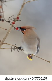 Close up portrait of Bohemian waxwing  Bombycilla garrulus feeding on red berries with one in beak. Soft winter light, blue background.