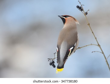 Close up portrait of Bohemian waxwing  Bombycilla garrulus feeding on black berries with one in beak. Soft winter light, blue background.