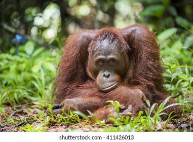 A close up portrait of the  Bornean orangutan (Pongo pygmaeus) in the wild nature. Island Borneo. Indonesia.